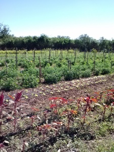 First farm - almost organic. Intercropping is key to keeping herbicide and pesticide expenses as low as possible.
