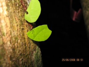 Leaf cutter ants (Atta spp) walking down a tree with they're beautiful leaves.