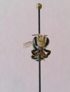 Megachile concinna male