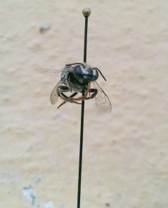 Megachile concinna female