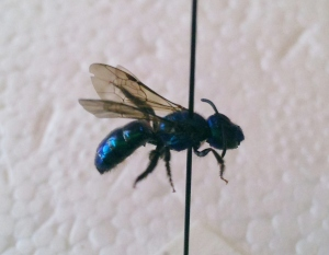 Augochlora buscki female
