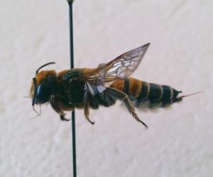Megachile lanata female