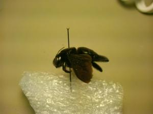 Xylocopa mordax female