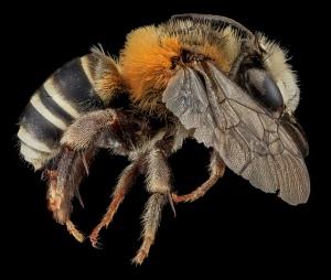 Anthophora tricolor male side. Photo taken by USGS BIML
