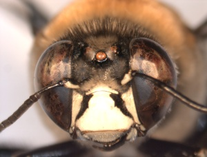 Centris decolorata male face