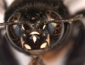 Centris haemorrhoidalis female face