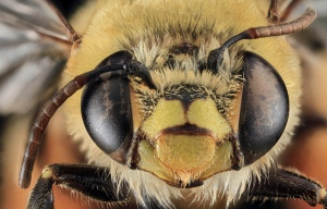 C_lanipes female face. Photo taken by USGS BIML