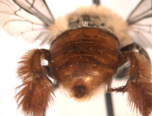 Centris lanipes female abdomen