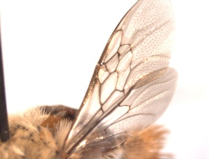 Centris lanipes female wing