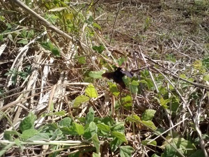 Xylocopa mordax foraging in St-Croix field