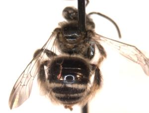 Exomalopsis pulchella top