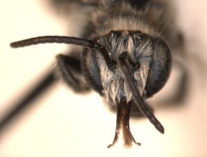 Exomalopsis pulchella face