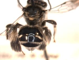 Might be Exomalopsis bahamica
