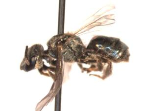 Lasioglossum ferrerii Female side