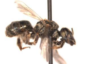 Lasioglossum ferrerii Female side