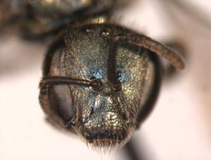 Lasioglossum ferrerii Female face