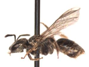 Lasioglossum parvum Female side