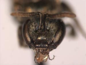 Lasioglossum parvum Female face