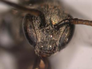Lasioglossum parvum Male face