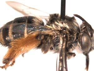 Melissodes trifasciata female side