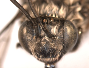 Melissodes trifasciata female face