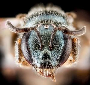Lasioglossum mestrei face. Image by USGS BIML