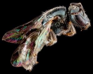 Lasioglossum mestrei side. Image by USGS BIML