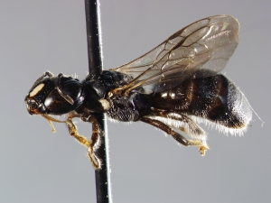 Female Ceratina species collected in a pepper field using bee bowls. Picture take by Andrew Ernst NCSU