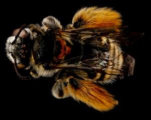 Exomalipsis similis female. By Sam Droege USGS BIML