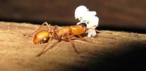 Ant carrying pupa- I don't know what it is!