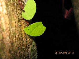 Leaf cutter ants hard at work