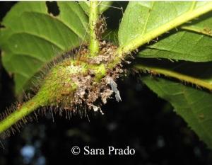 Allomerus on plant