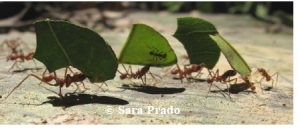 Watchful little leaf cutter ant sits on a leaf while the worker ants carry the leaves to the nest. This little ant keeps an eye out for a parasitic fly that can lay eggs in the workers head, eventually decapitating them.