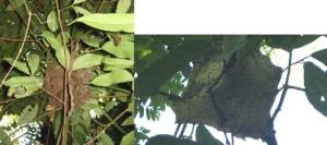 Dolichoderus nest