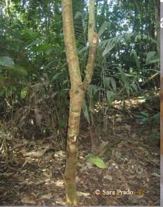 Tangarana tree