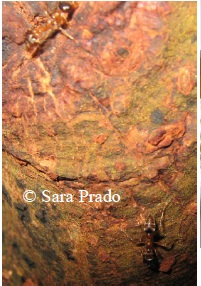 Ants on Tangarana tree