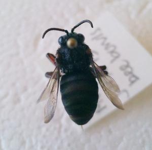 Mesoplia aff. rufipes female