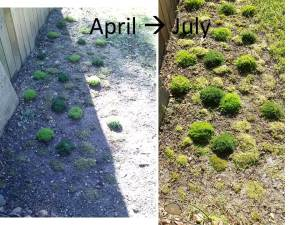 Moss planted in April (left) and moss growth through July (right)
