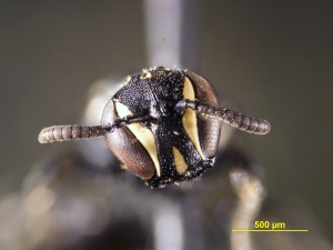 Hylaeus female face - from Puerto Rico (image by Andrew Ernst @ NCSU)