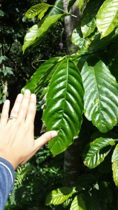 C. canephora leaves are huge!