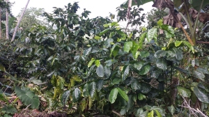 C. arabica on left, and C. canephora on right (see leaf size difference)