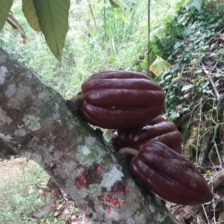cacao fruit and flowers